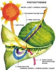 Proses Reaksi Fotosintesis