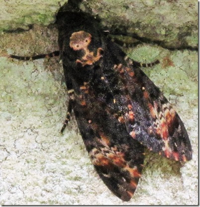 deaths head hawk moth scilly sept 2013 220