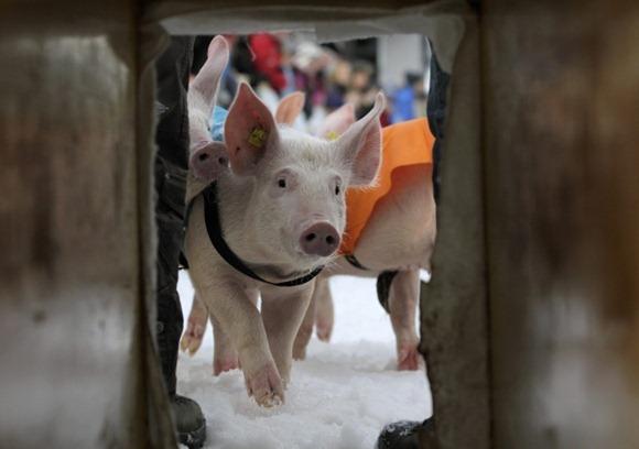 Pig Racing in Switzerland 02
