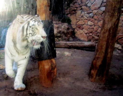 i tigr v hayfskom zooparke.jpg