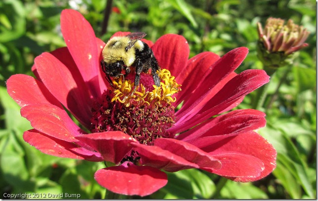 Bee at FDR Rose Garden