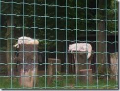 2008.05.26-019 loups arctiques