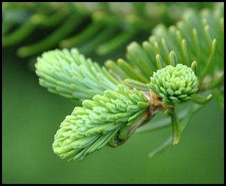 04v9 - Flowers - Evergreens