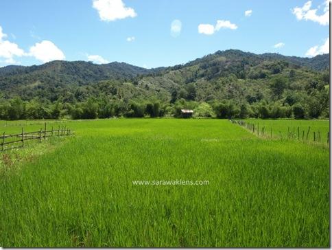 Bakalalan_rice_field_sawah_padi_7