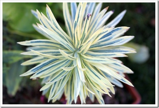 121212_Morningsun_plants_Euphorbia-Tasman-Tiger_01