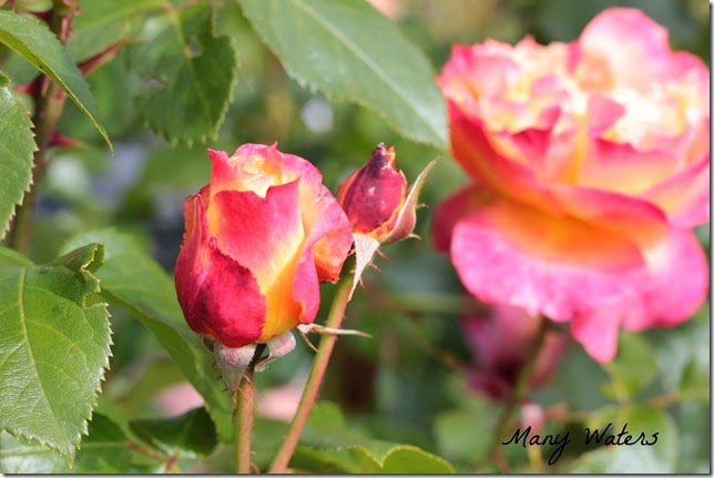 Many Waters Red & Yellow rosebud