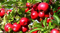 perennial fruit