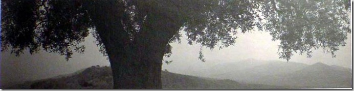 Cilento, 1999 (oliv tree)