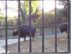 2011.11.14-031 gaurs
