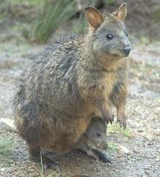 Amazing Pictures of Animals, Photo, Nature, Incredibel, Funny, Zoo, rufous hare-wallaby, (Lagorchestes hirsutus), Mammals, Alex (10)
