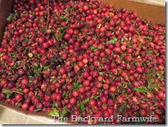 cranberry pickin' - The Backyard Farmwife