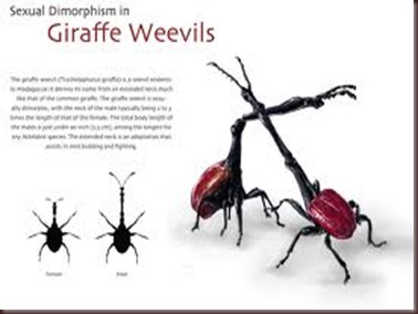 Amazing Pictures of Animals, photo, Nature, exotic, funny, incredibel, Zoo, Giraffe weevil, Insecta, Alex (20)