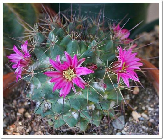 120512_Mammillaria-bocensis_03