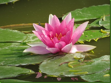IMG_0680  Pink Water Lily