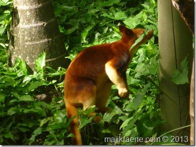 63 tree kangaroo