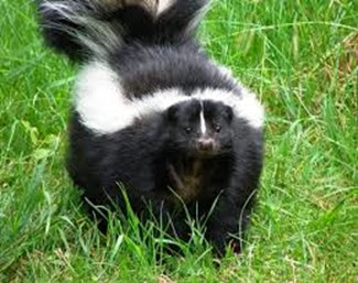 Amazing Pictures of Animals, Photo, Nature, Incredibel, Funny, Zoo, Skunks, Polecats, Mammals, Alex (13)