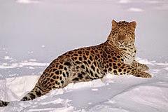 amur_leopard_2