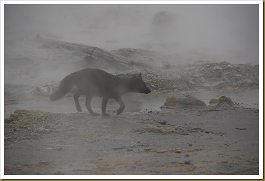 Arctic Fox Yankicha