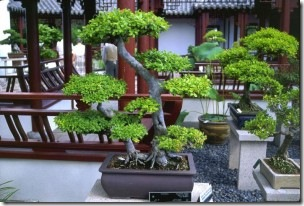 Bonsai2