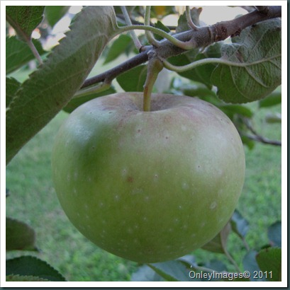 apples0716 (4)