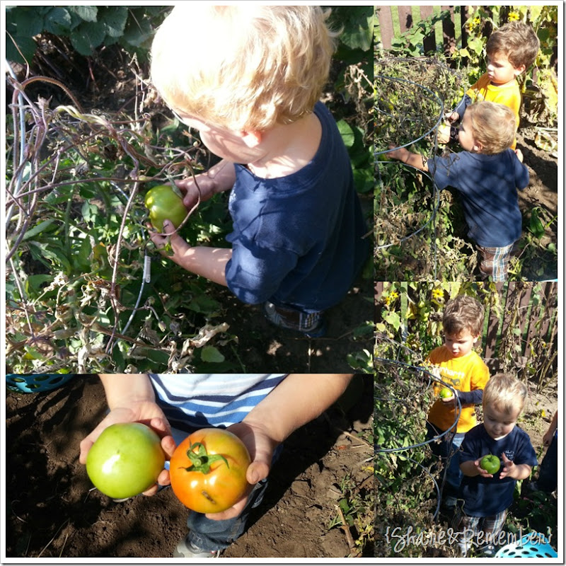 picking tomatoes 2
