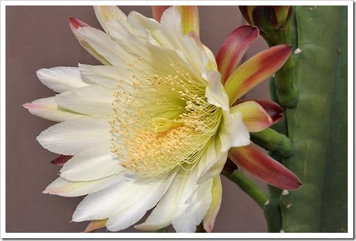 110815_Cereus-hildmannianus-809pm