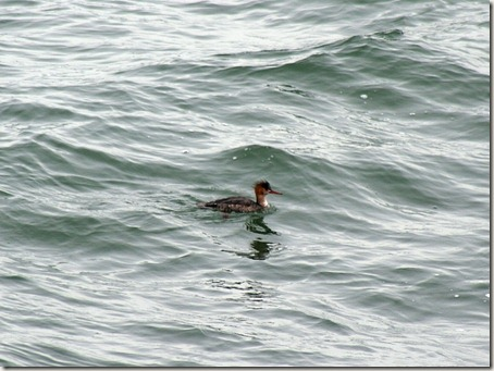 Red-breasted merganser, Chesapeake Bay