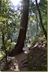 Muir Woods Hillside Trail-1