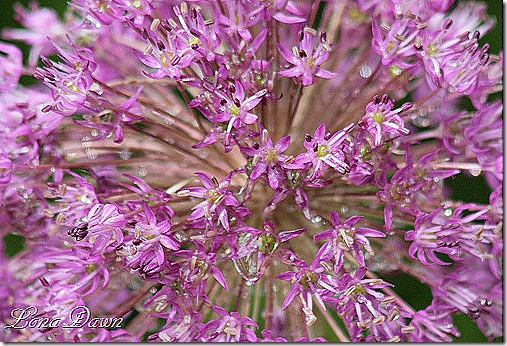 Allium_BloomingOnion_Macro