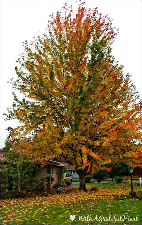 Big Maple Tree