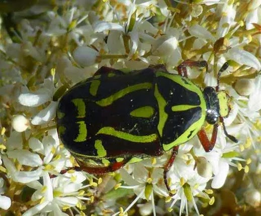 Amazing Pictures of Animals, Photo, Nature, Incredibel, Funny, Zoo, Eupoecila australasiae, fiddler beetle or rose chafer, Insecta, Alex (13)