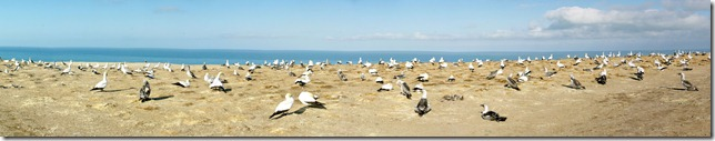 Cape Kidnapper's Gannet Colony