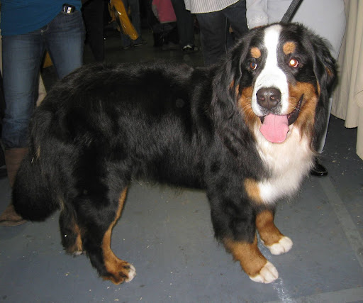 A Bernese Mountain Dog shows of his beautiful colors.
