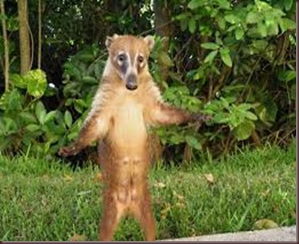 Amazing Pictures of Animals Coati Nasua. Alex (12)
