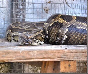 boa constrictor Calauit Safari park