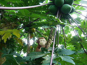 CM Botanic Garden Jungle Papaya --- No picking fruit allowed, Code Monkey!