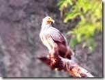 Kite-Eagle-Hawk-Vultures