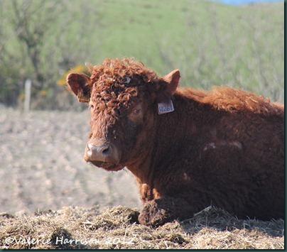 29-brown-coo