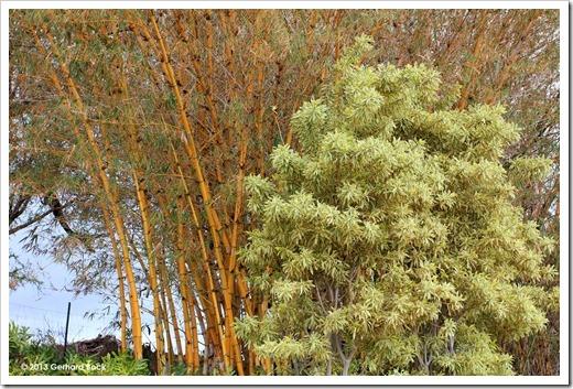 130715_KulaBotanicalGarden_Bambusa-vulgaris-vittata_001