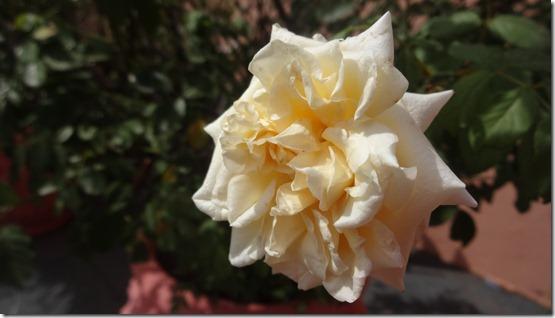 flor-flores-rosas-imagens120