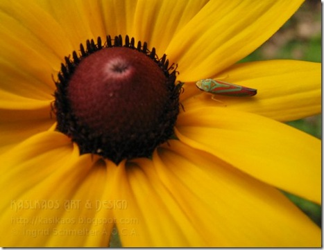 black-eyed-susan72