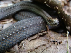 Misssouri snake-1