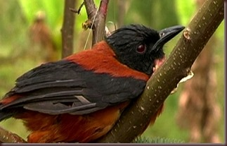 Amazing Pictures of Animals Pitohui Poisonous Bird. Alex (2)