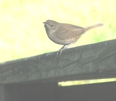 wren on railing6