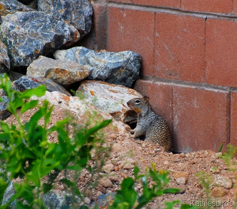 4. rock squirrel-kab