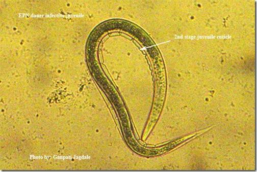 dauer-larva