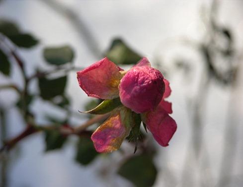 18 rosen