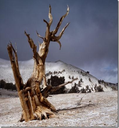 Kozzi-bristlecone-pines-360x360
