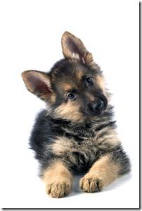 herder puppy