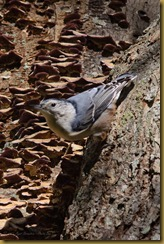 White-breasted Nuthatch  D7K_6347 October 16, 2011 NIKON D7000